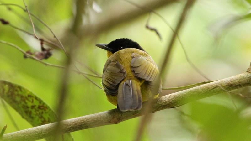 Pycnonotus_melanicterus_21
