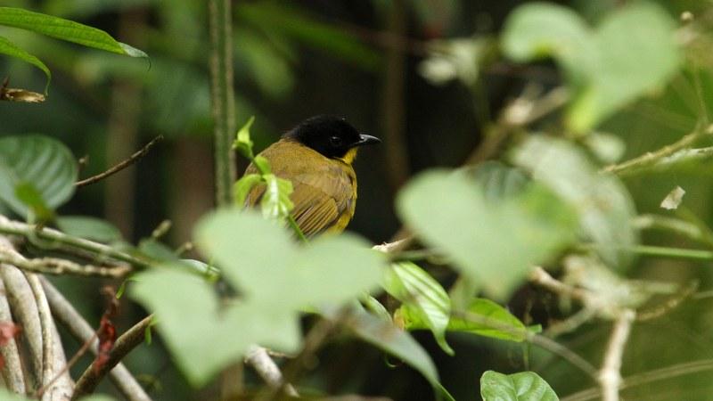 Pycnonotus_melanicterus_25
