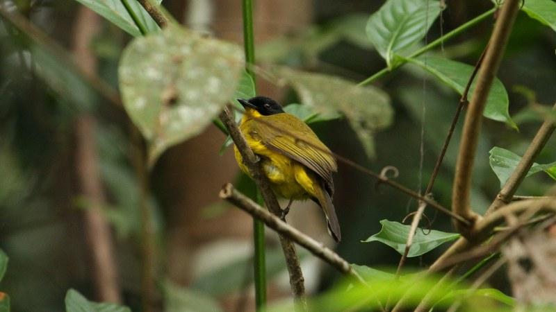 Pycnonotus_melanicterus_28