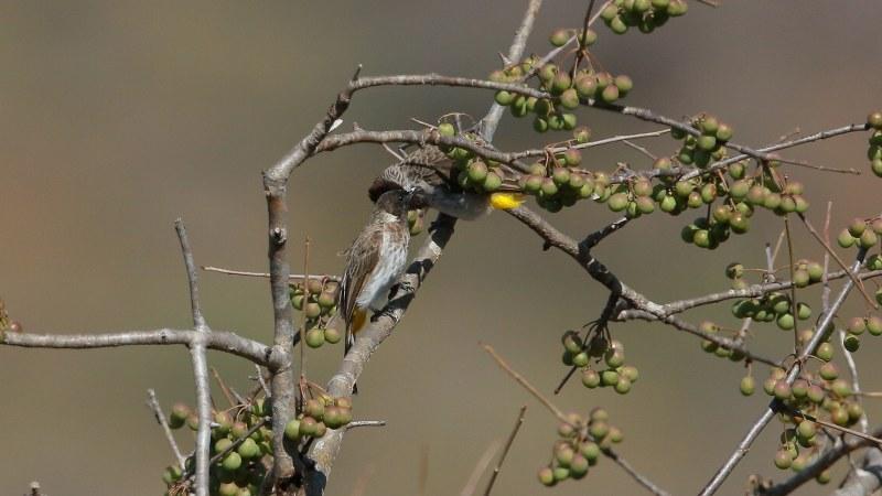 Pycnonotus_dodsoni_04