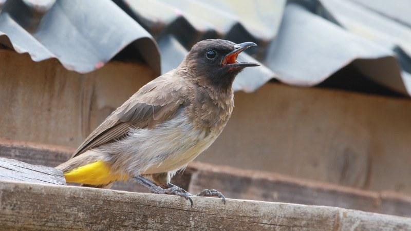 Pycnonotus_tricolor_19