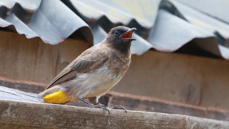 Pycnonotus_tricolor_18