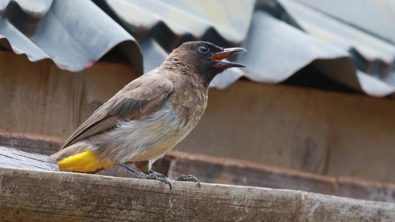 Pycnonotus_tricolor_20
