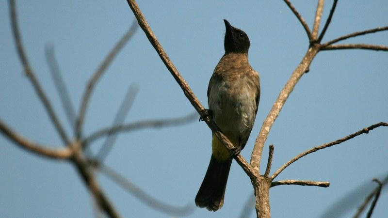 Pycnonotus_tricolor_15