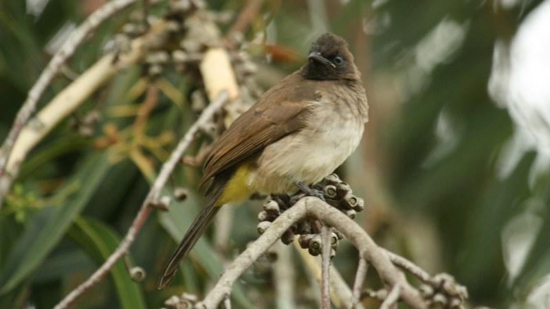 Pycnonotus_tricolor_06