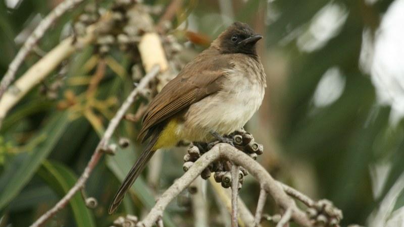 Pycnonotus_tricolor_05