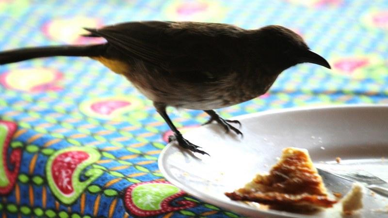 Pycnonotus_tricolor_08
