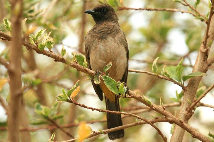Pycnonotus_tricolor_01