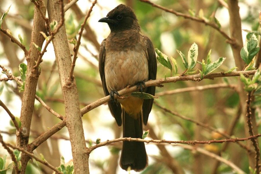 Pycnonotus_tricolor_02