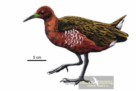 Chruścielowiec maurytyjski
