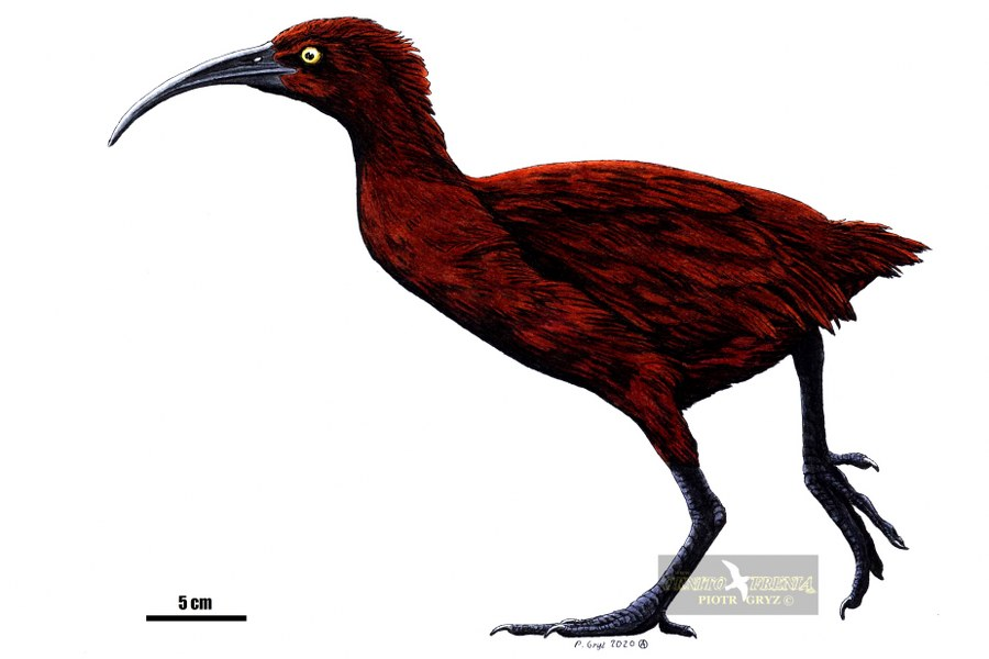 Aphanopteryx_bonasia_02s_900x600