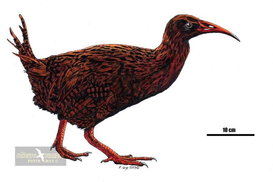 diaphorapteryx2c_900x600