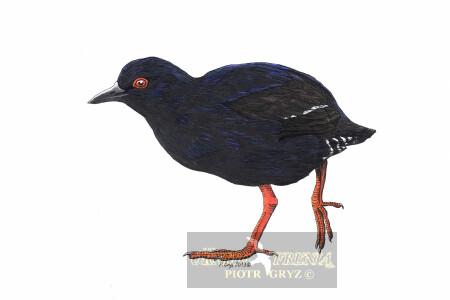 † Kureczka mikronezyjska